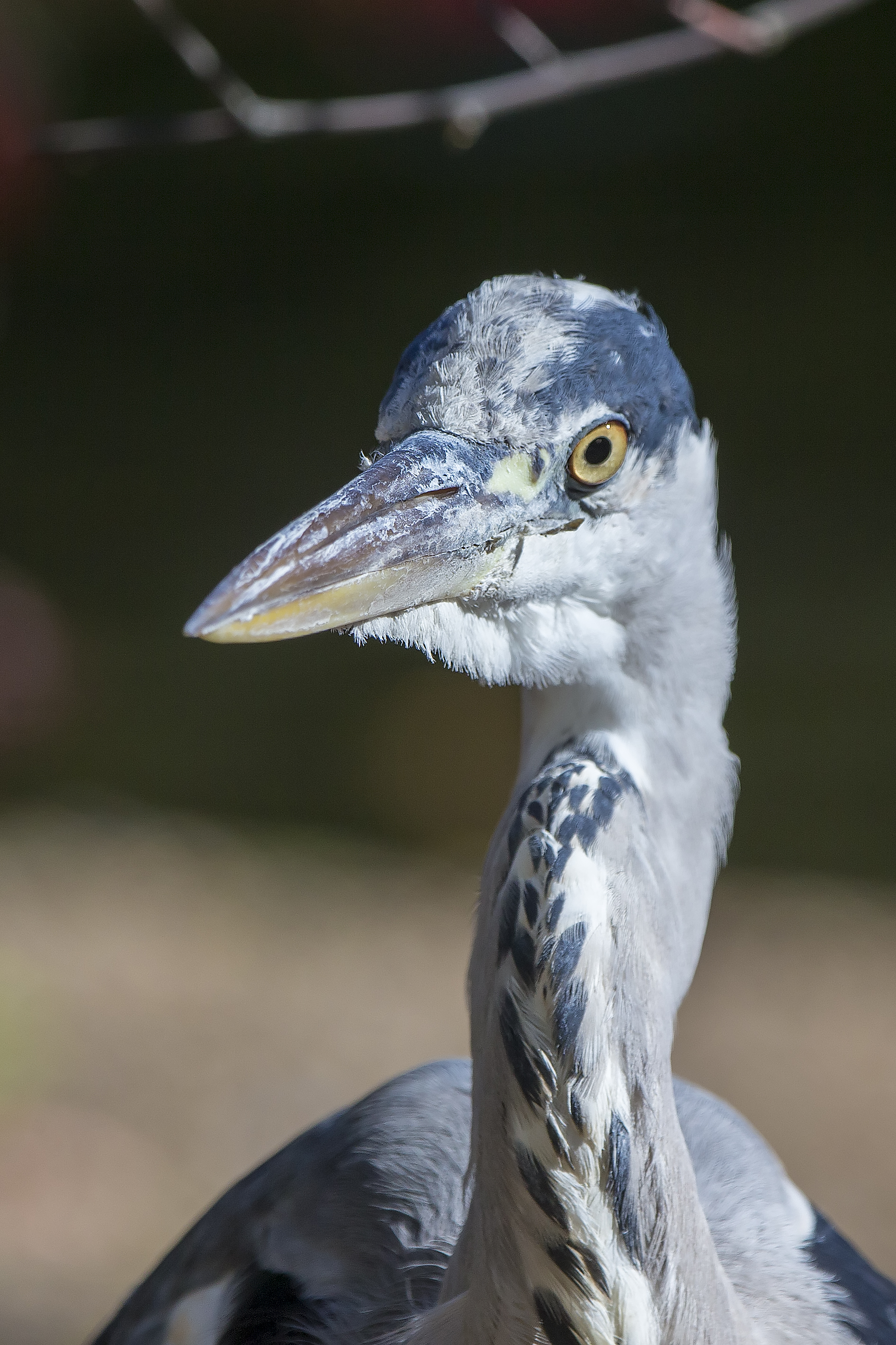 Grey Heron in St James' Park, London