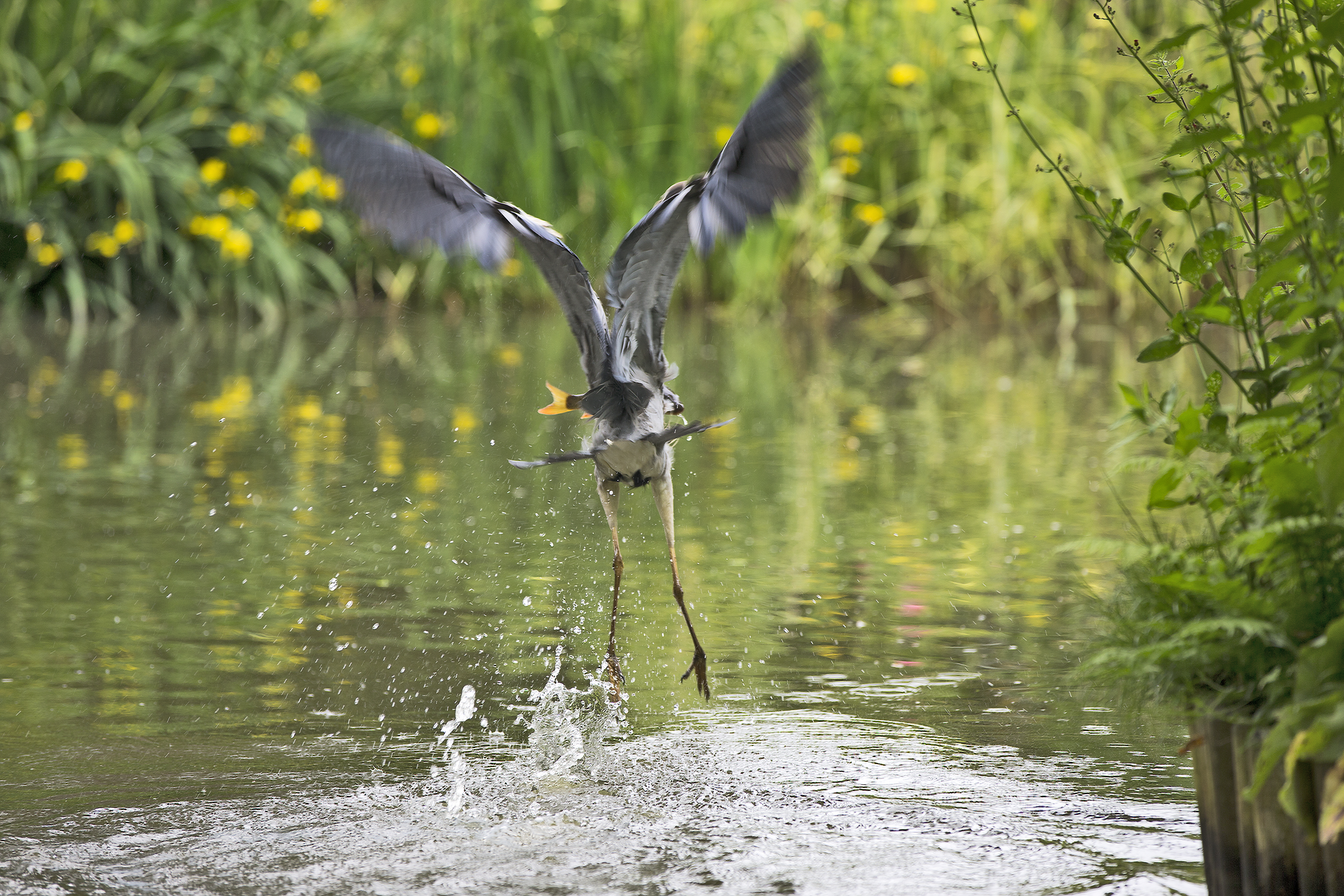 Grey heron Escaping with a Fish