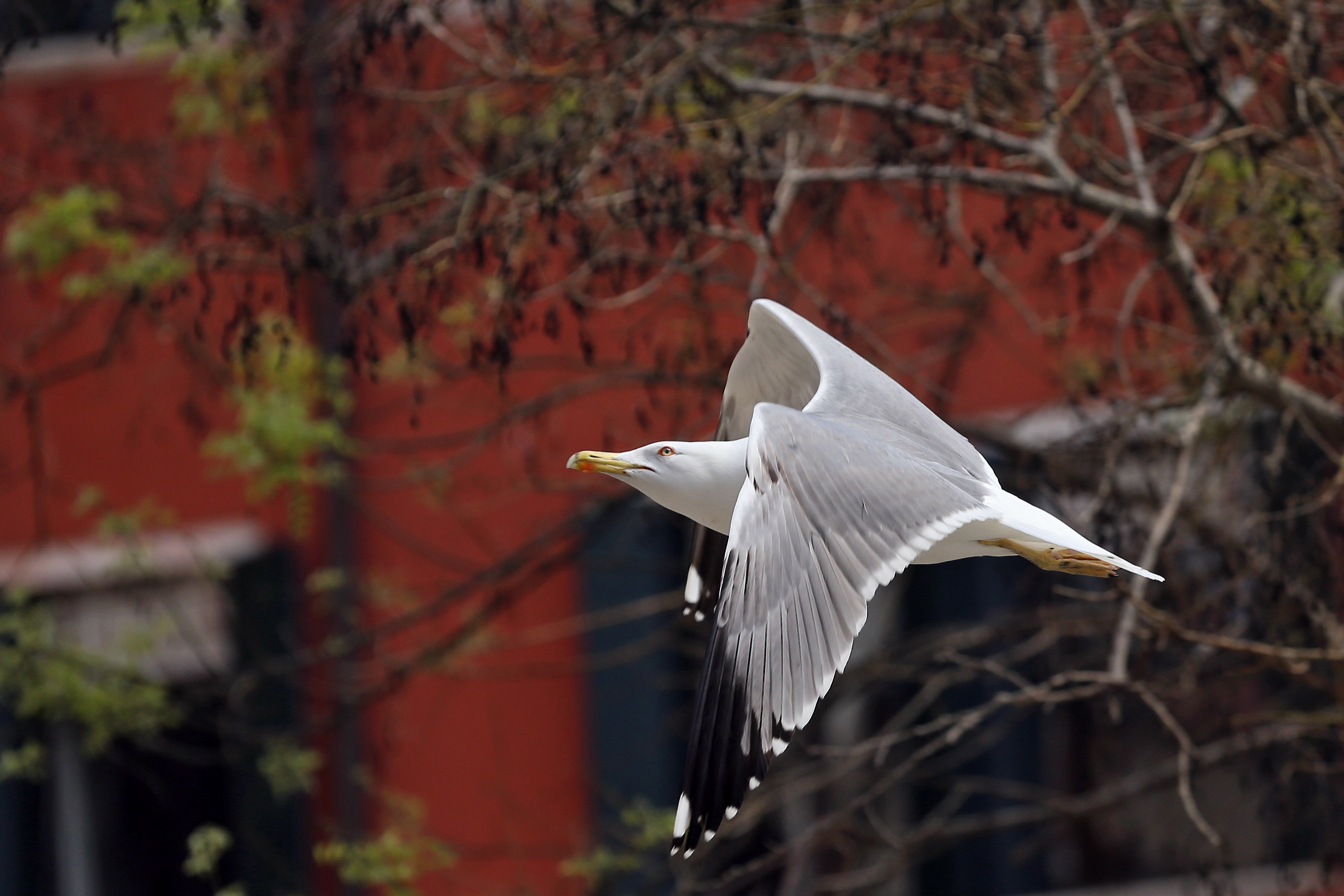 Seagull Flying in Venice