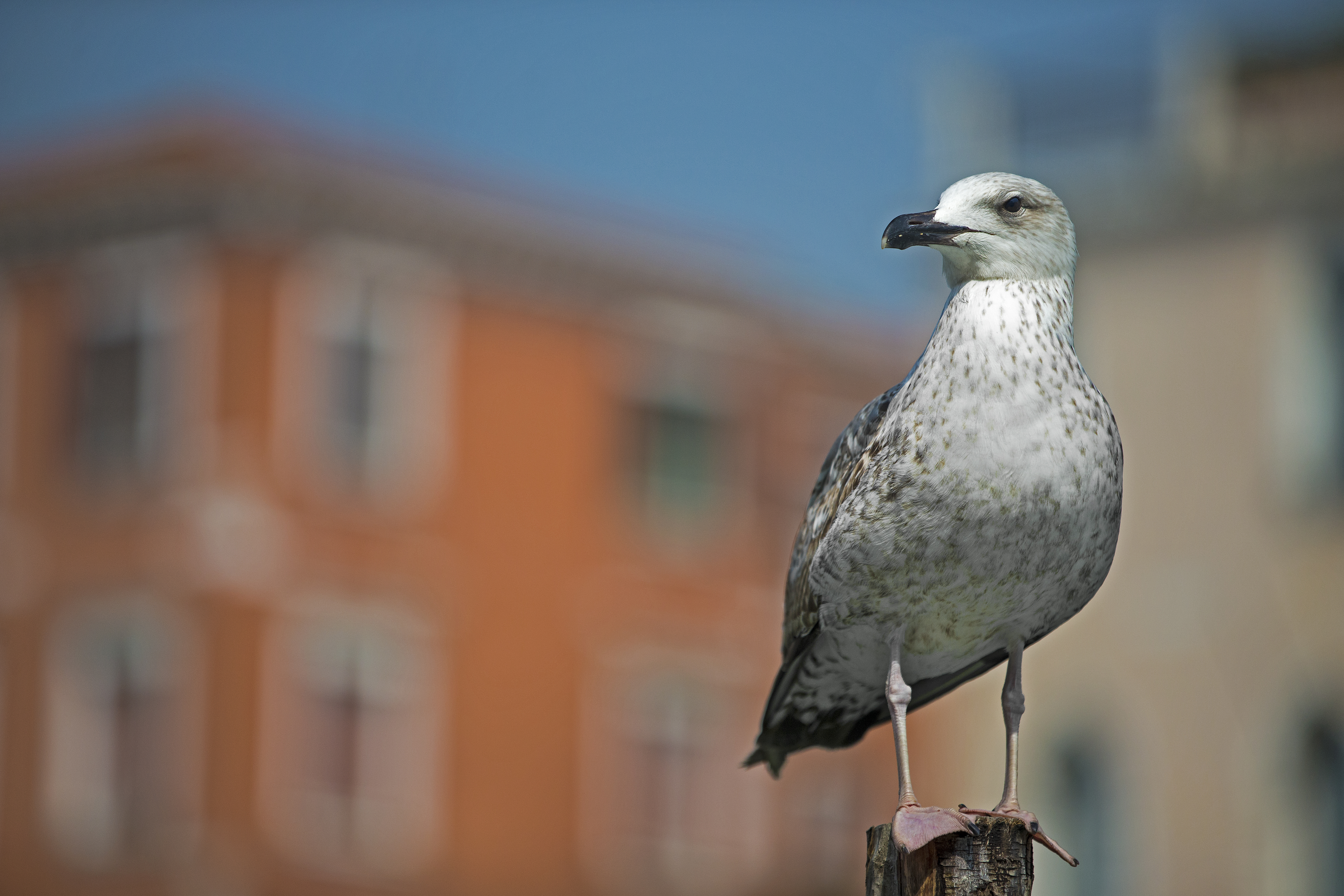 Seagull on a Pole in Venice