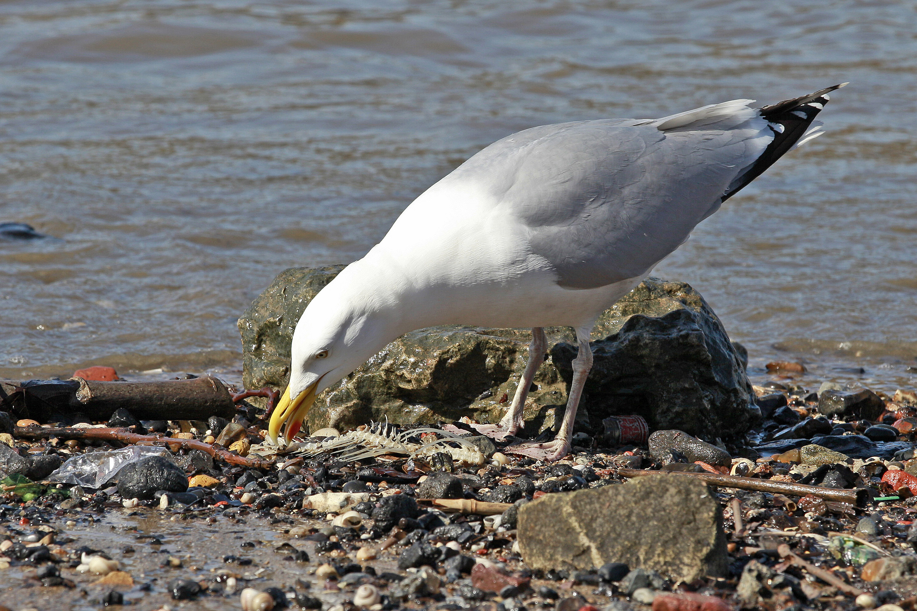 Seagull on the Banks of The River Thames