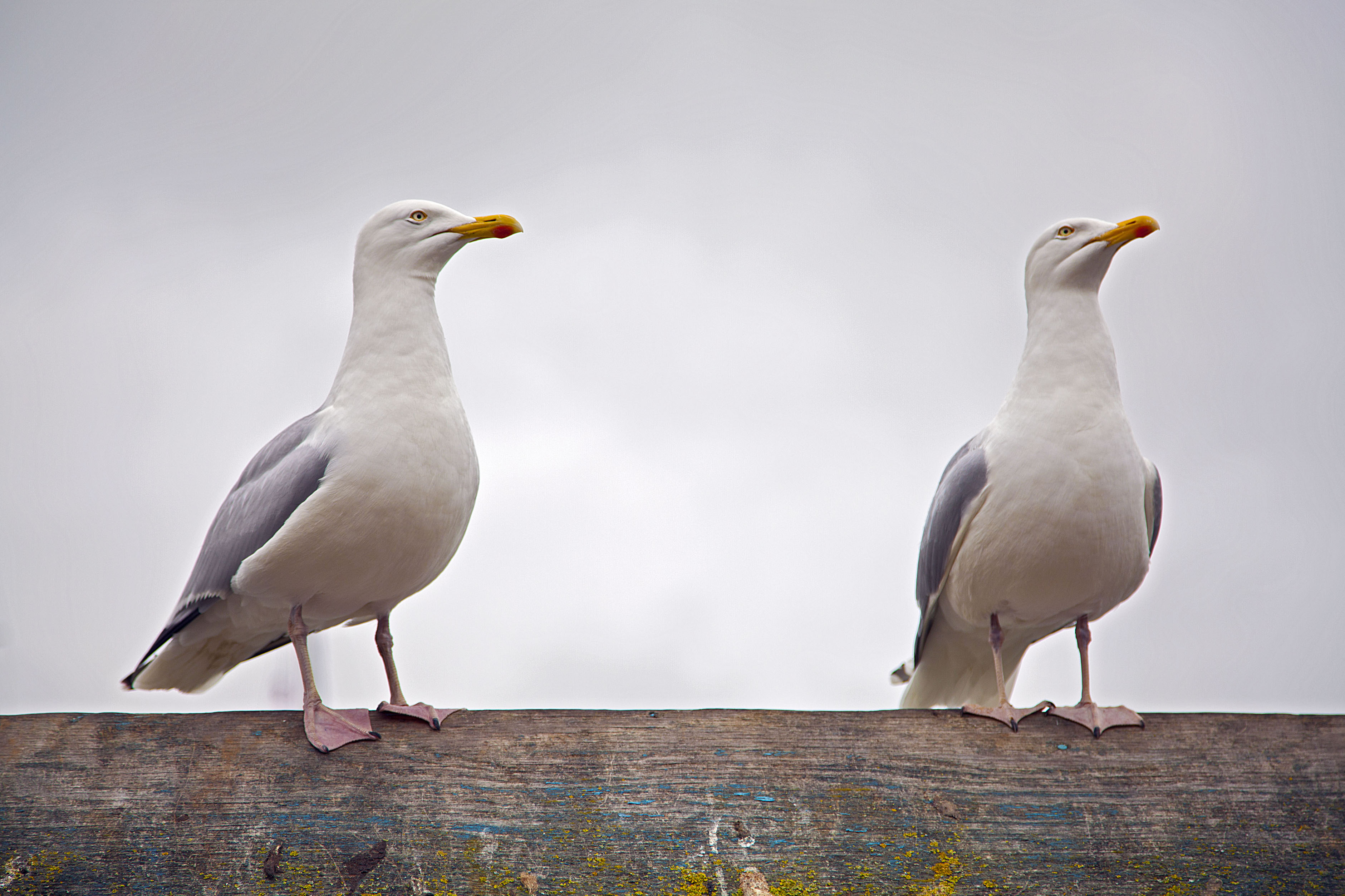 Seagulls in Padstow,Cornwall