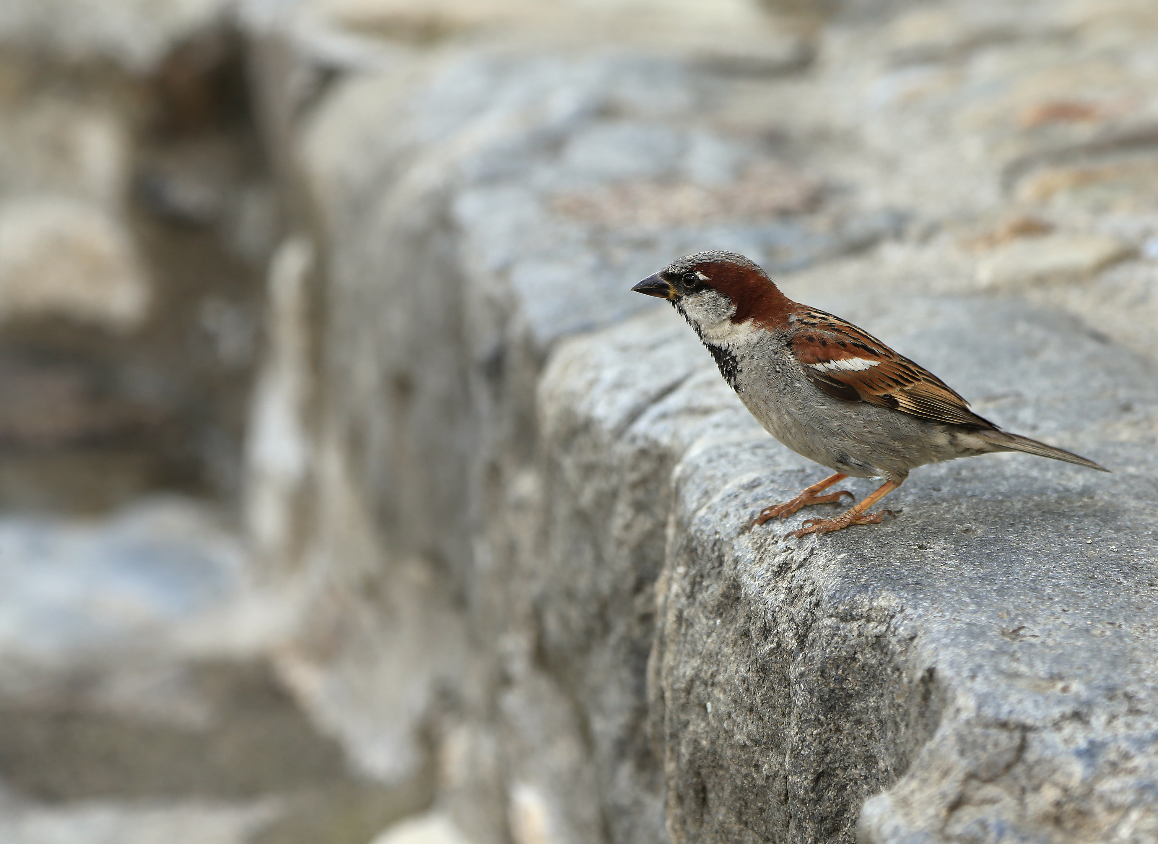 Sparrow on the Pavement in France