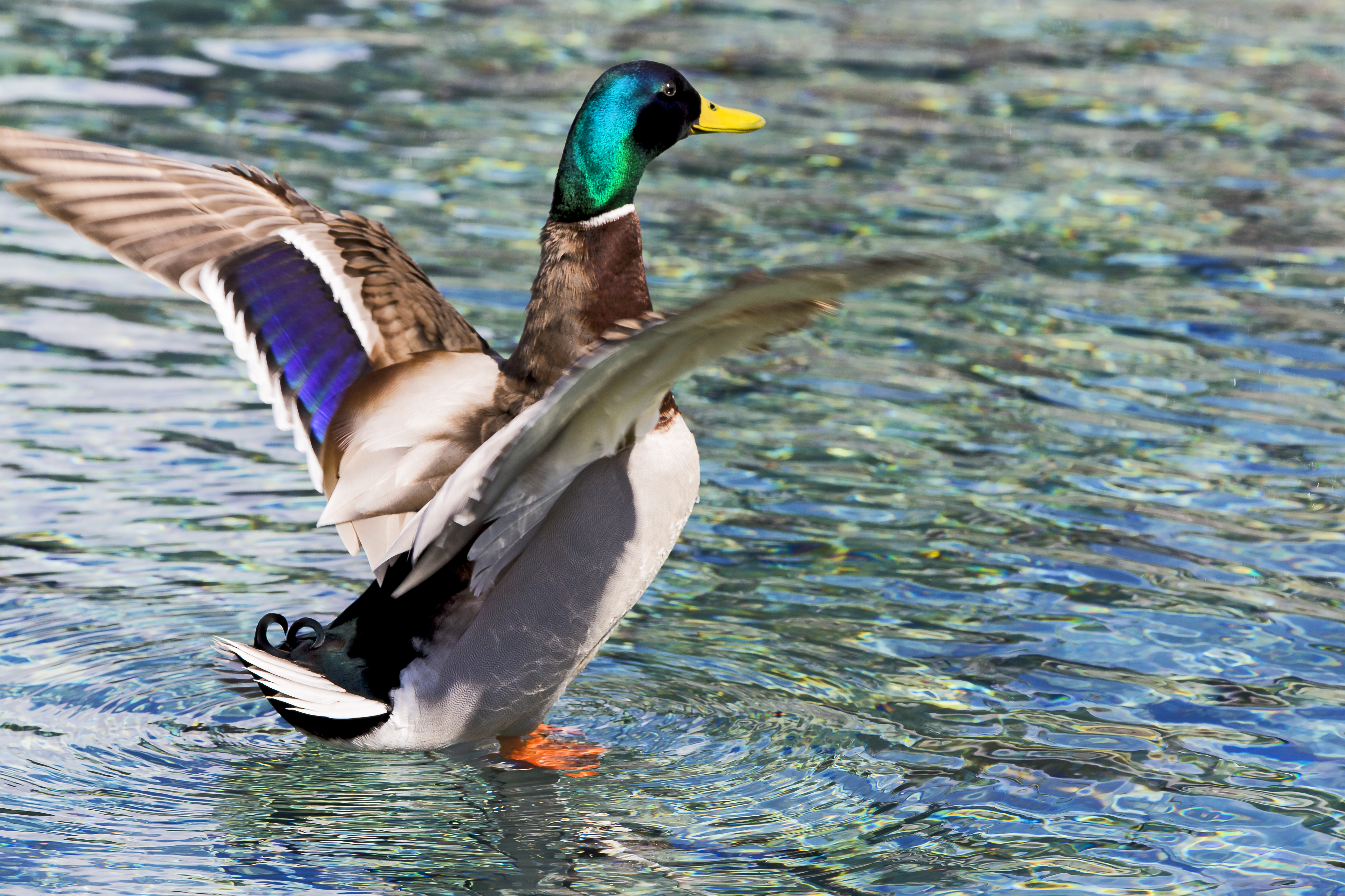 The Duck That Walks on Water