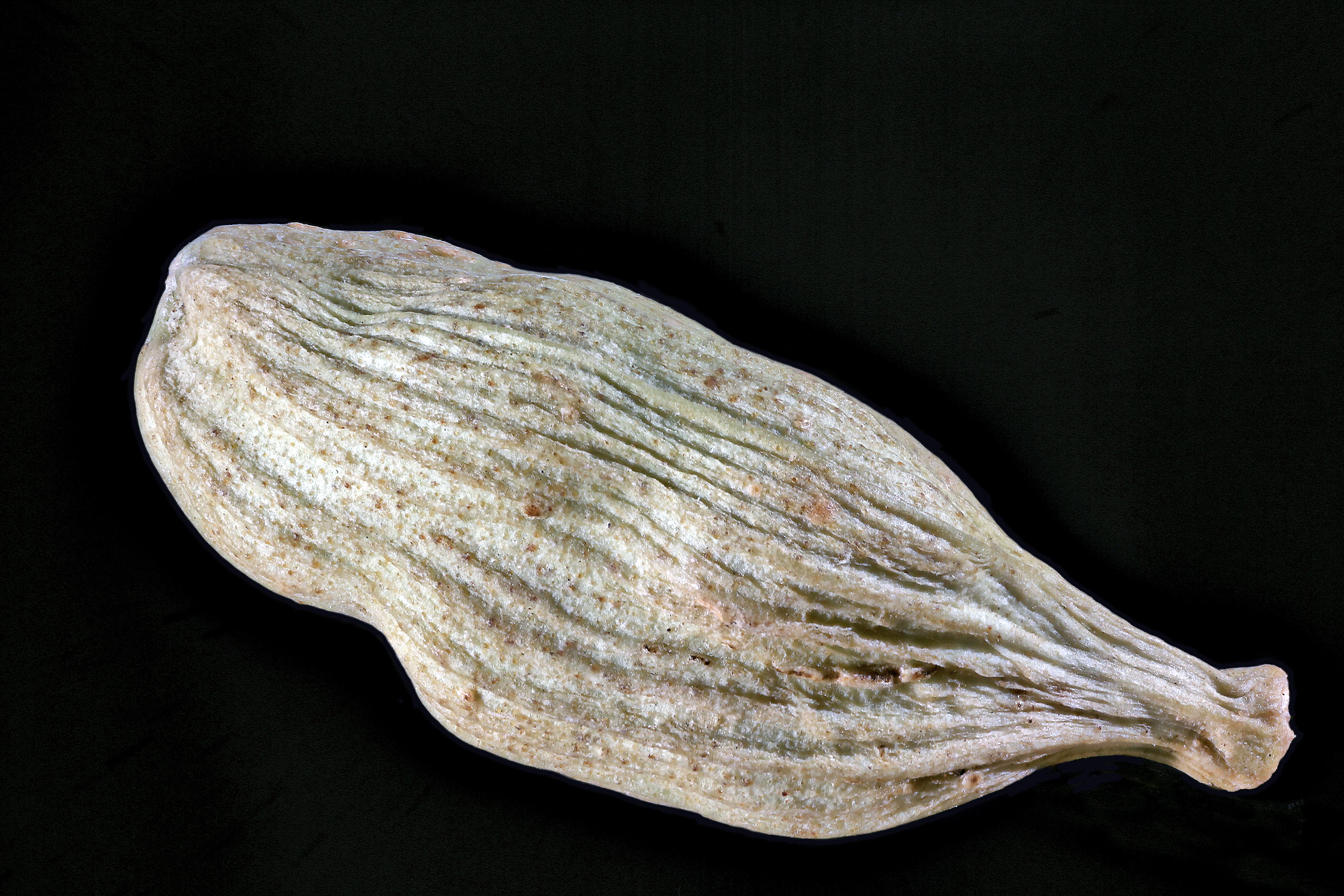 Cardamom Pod