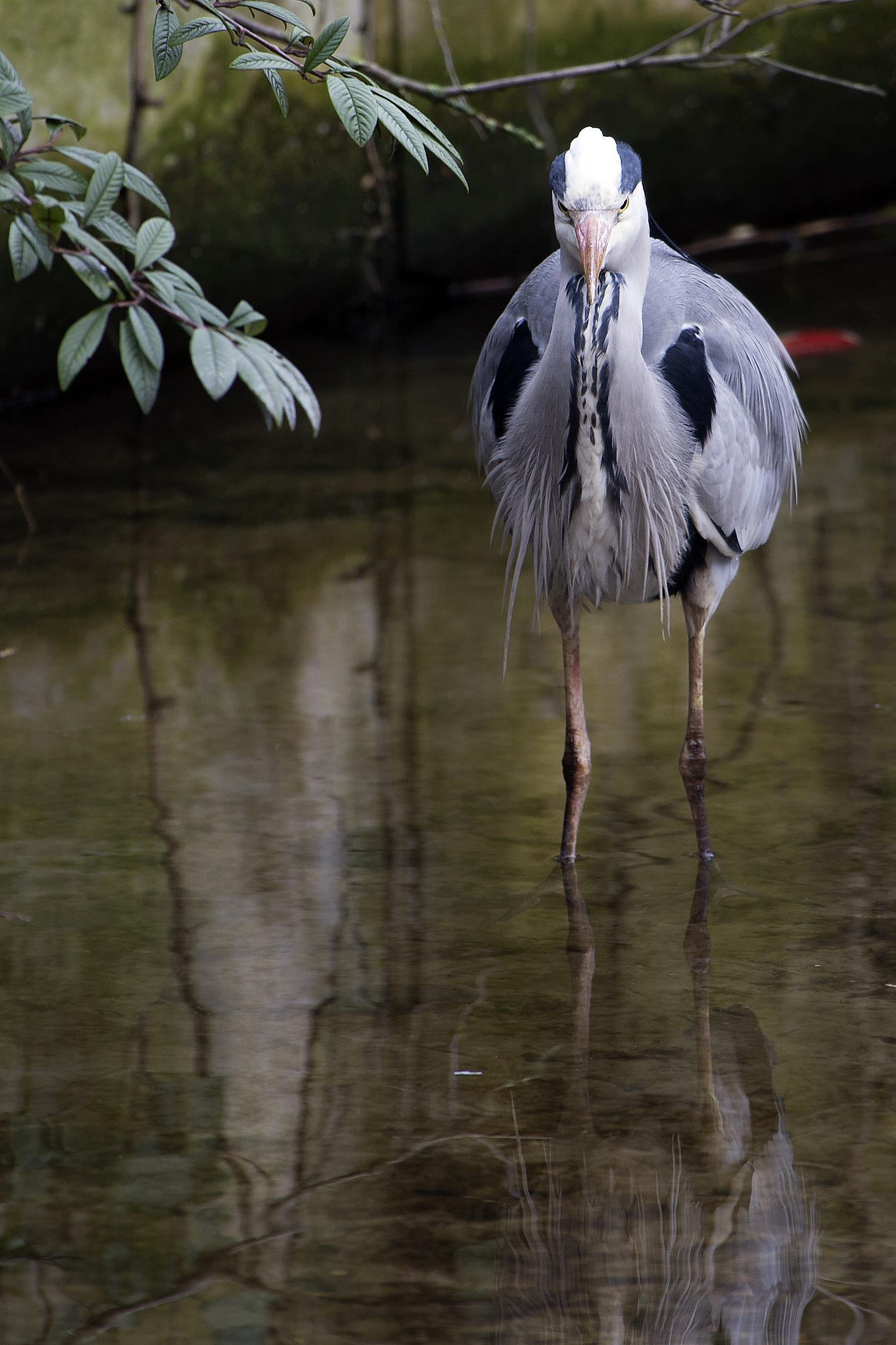 Scruffy Looking Grey Heron