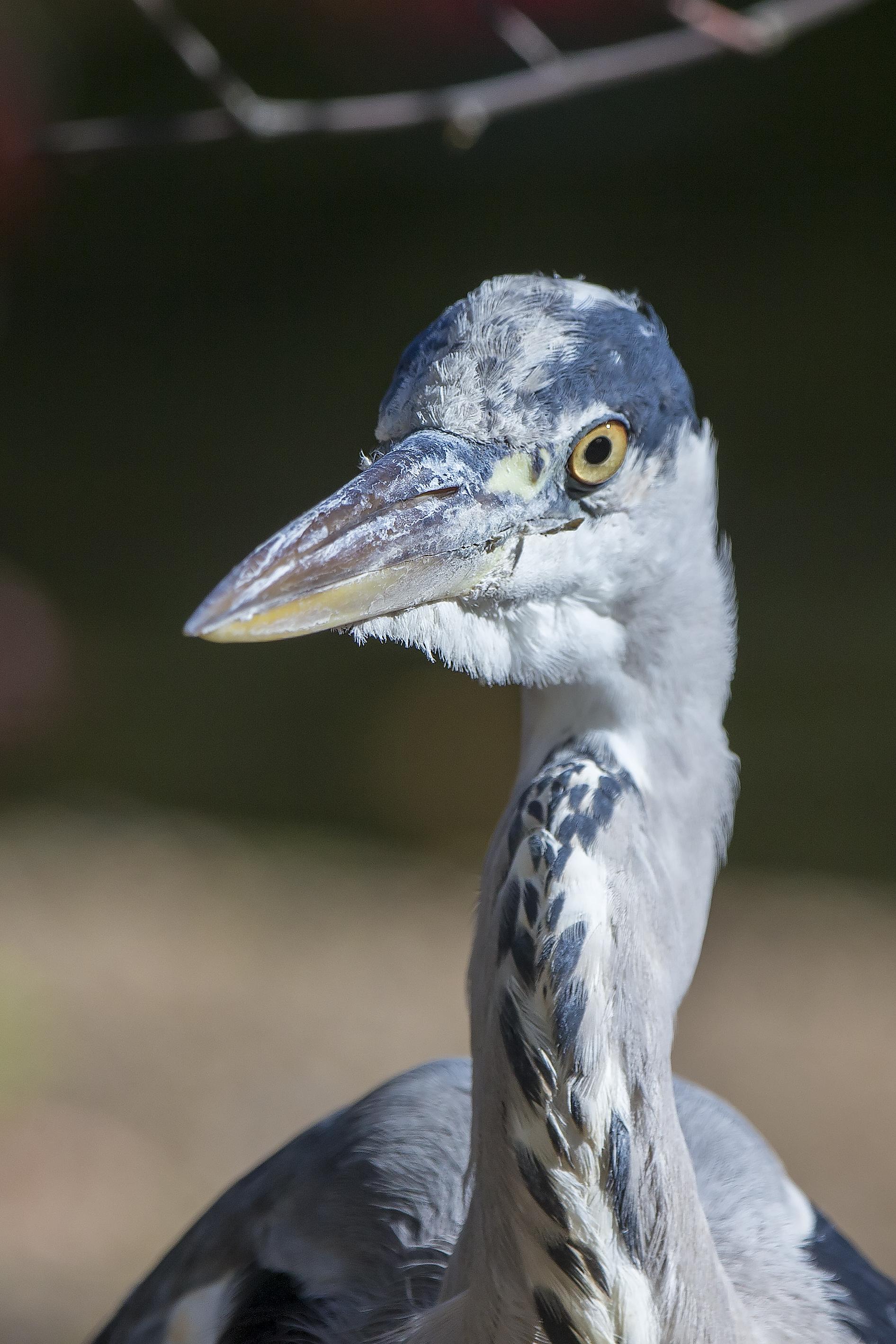 Grey Heron in St James' Park, London