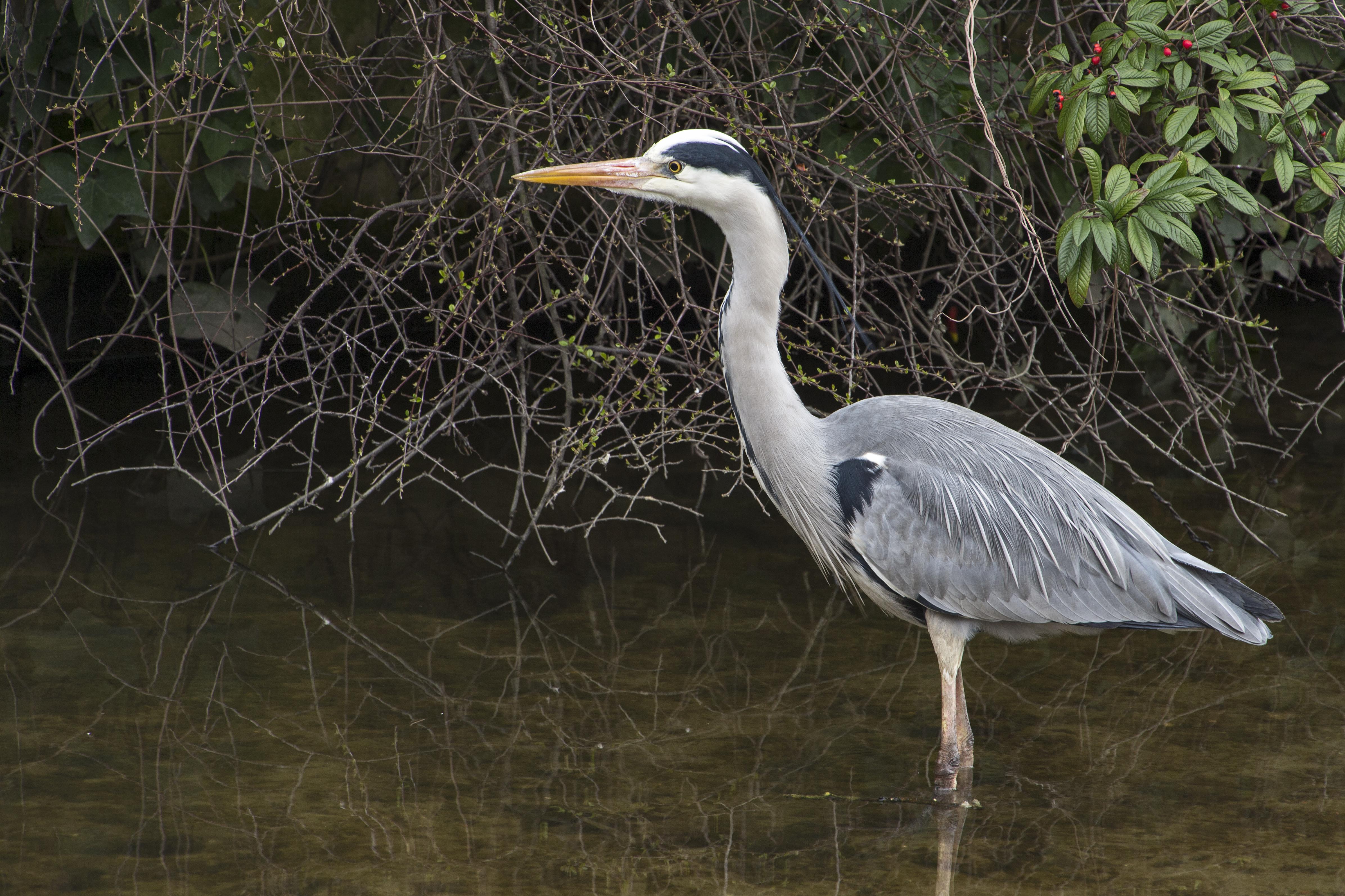 Grey Heron Stalking in Ghent