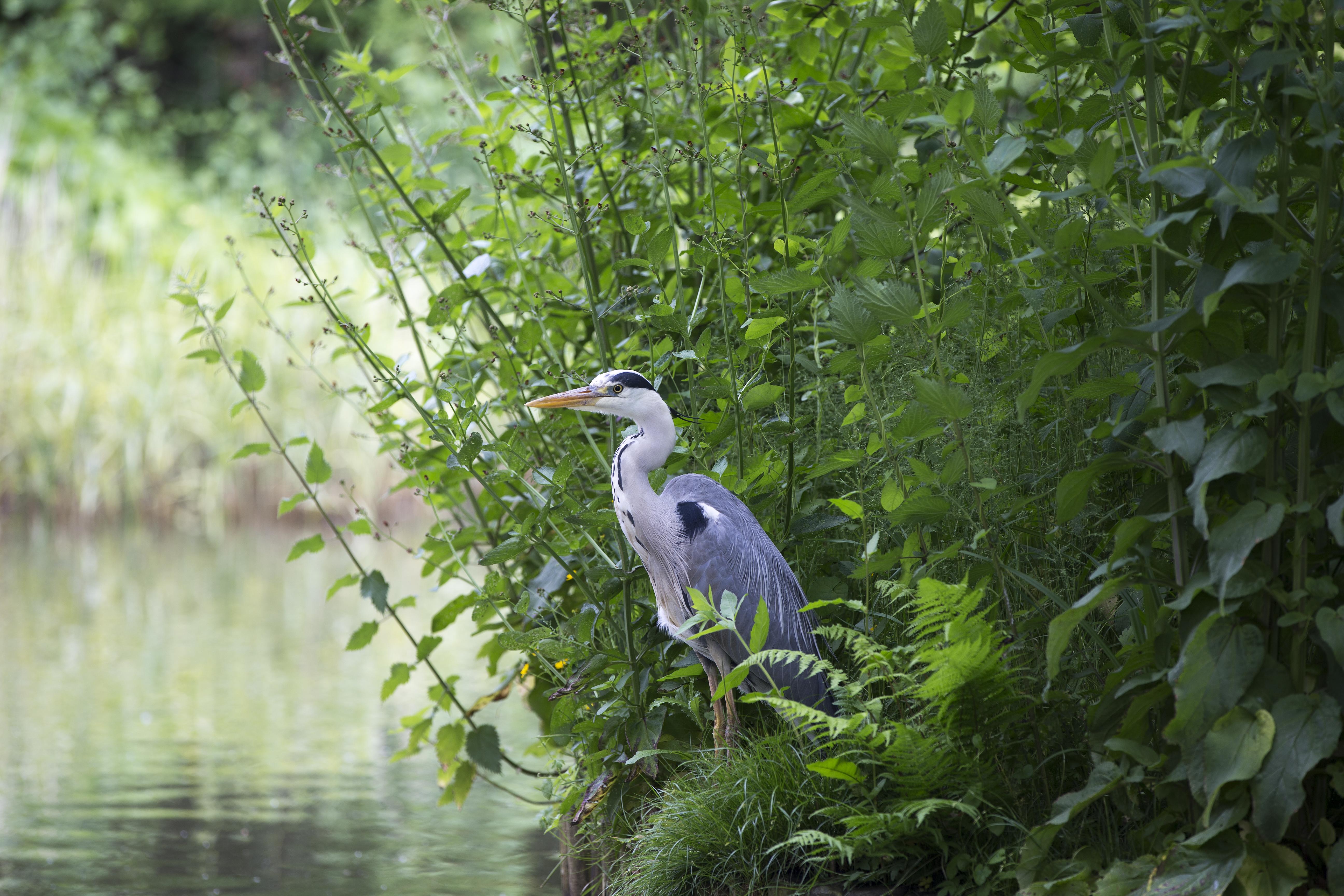 Grey Heron Stalking