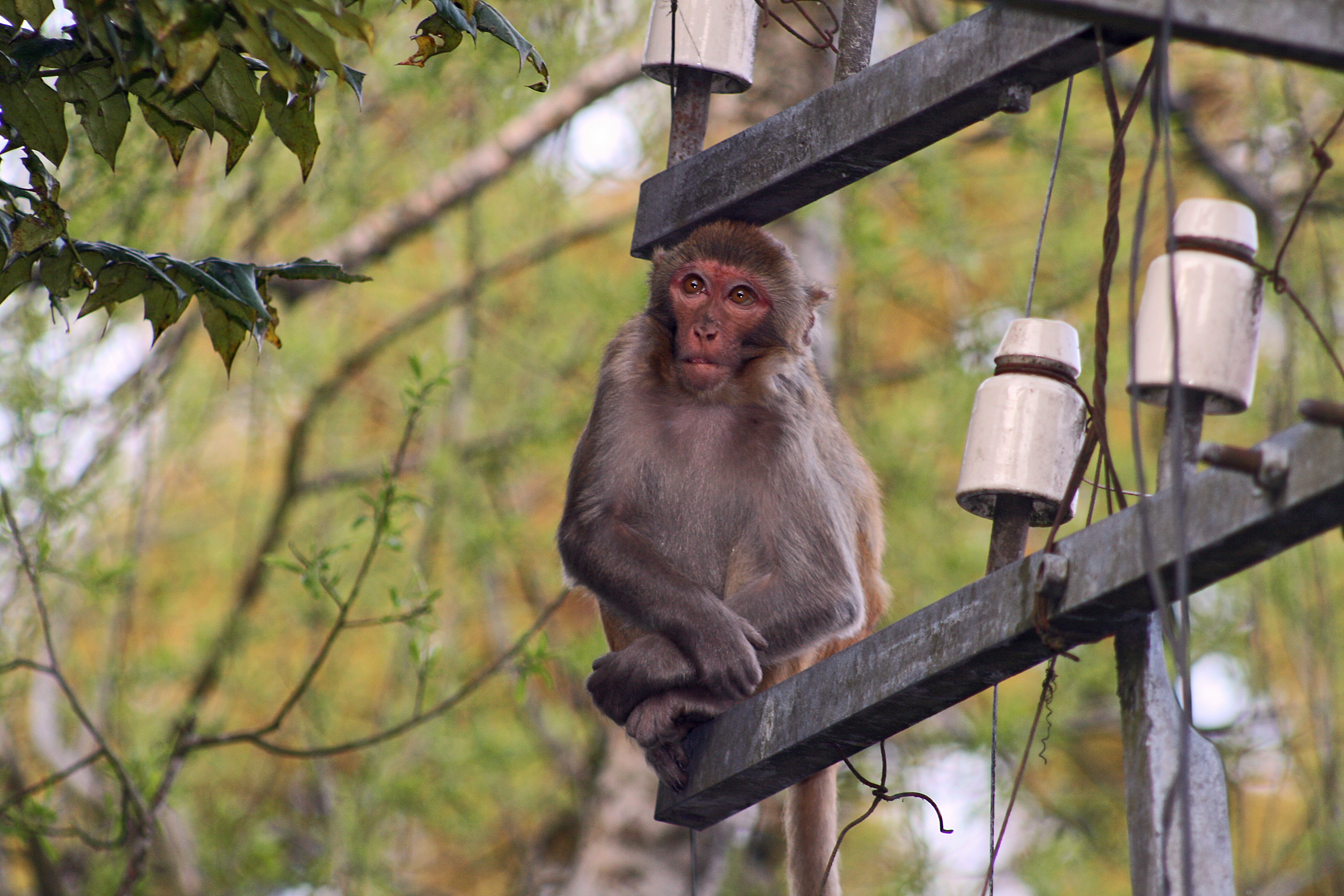 Ape on a Telegraph Pole, India