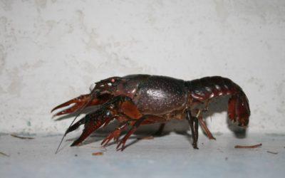 Crayfish Walking