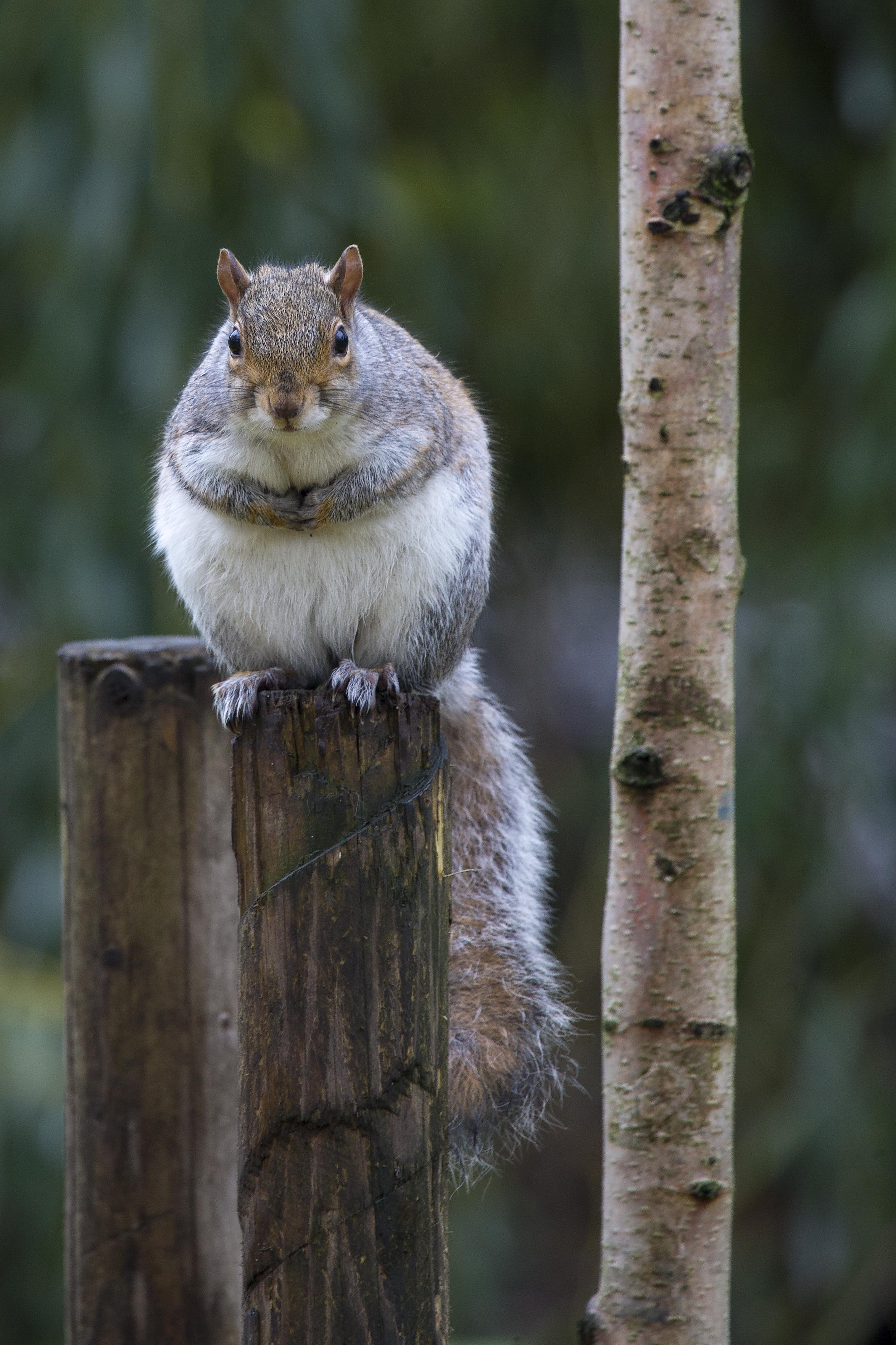 Grey Squirrel on a Post