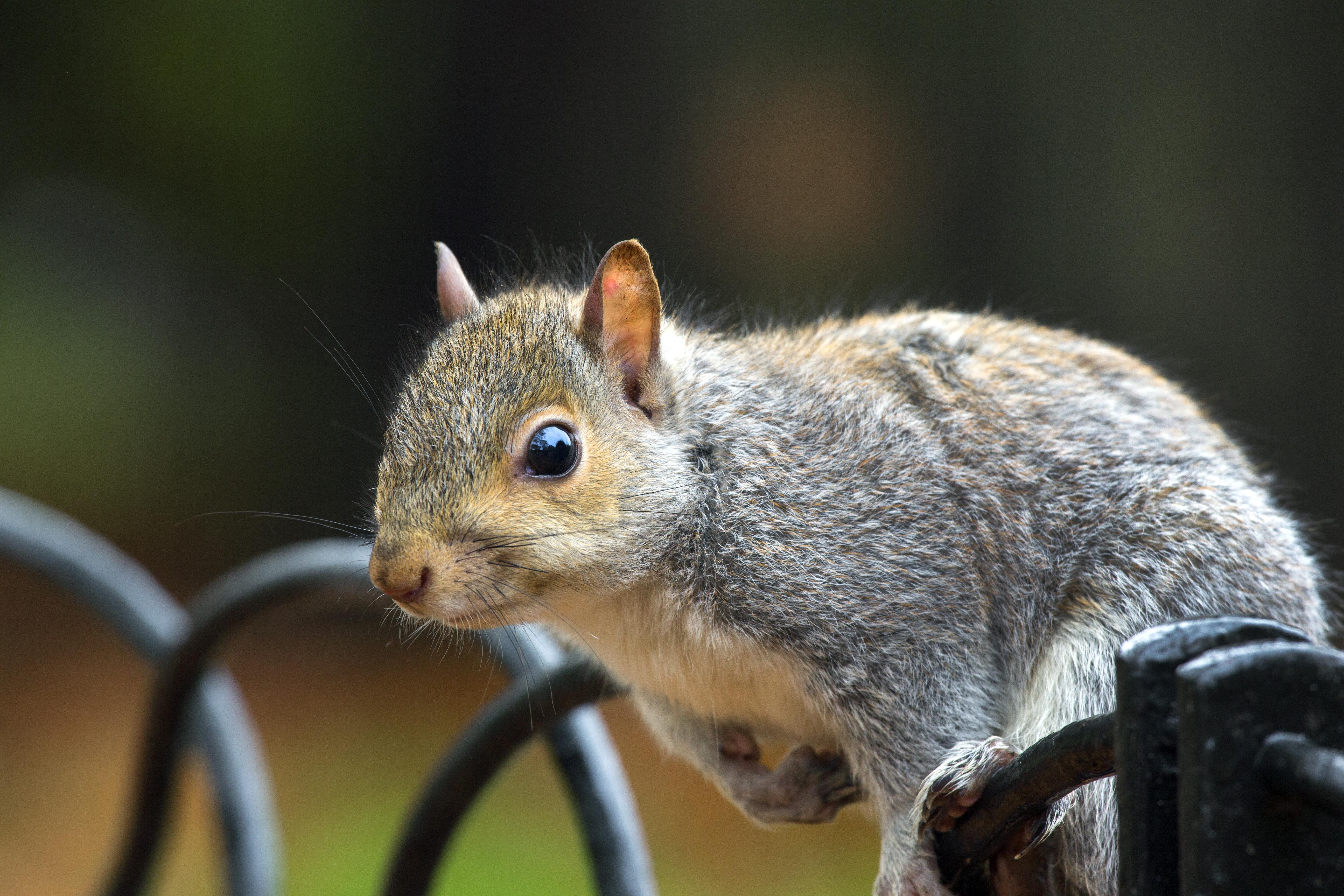 Grey Squirrel on a Fence