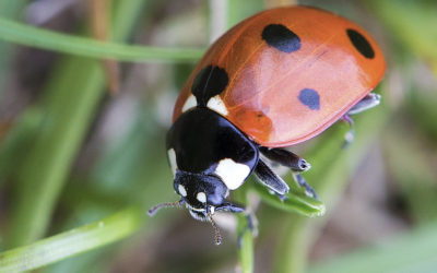 Ladybird Close Up