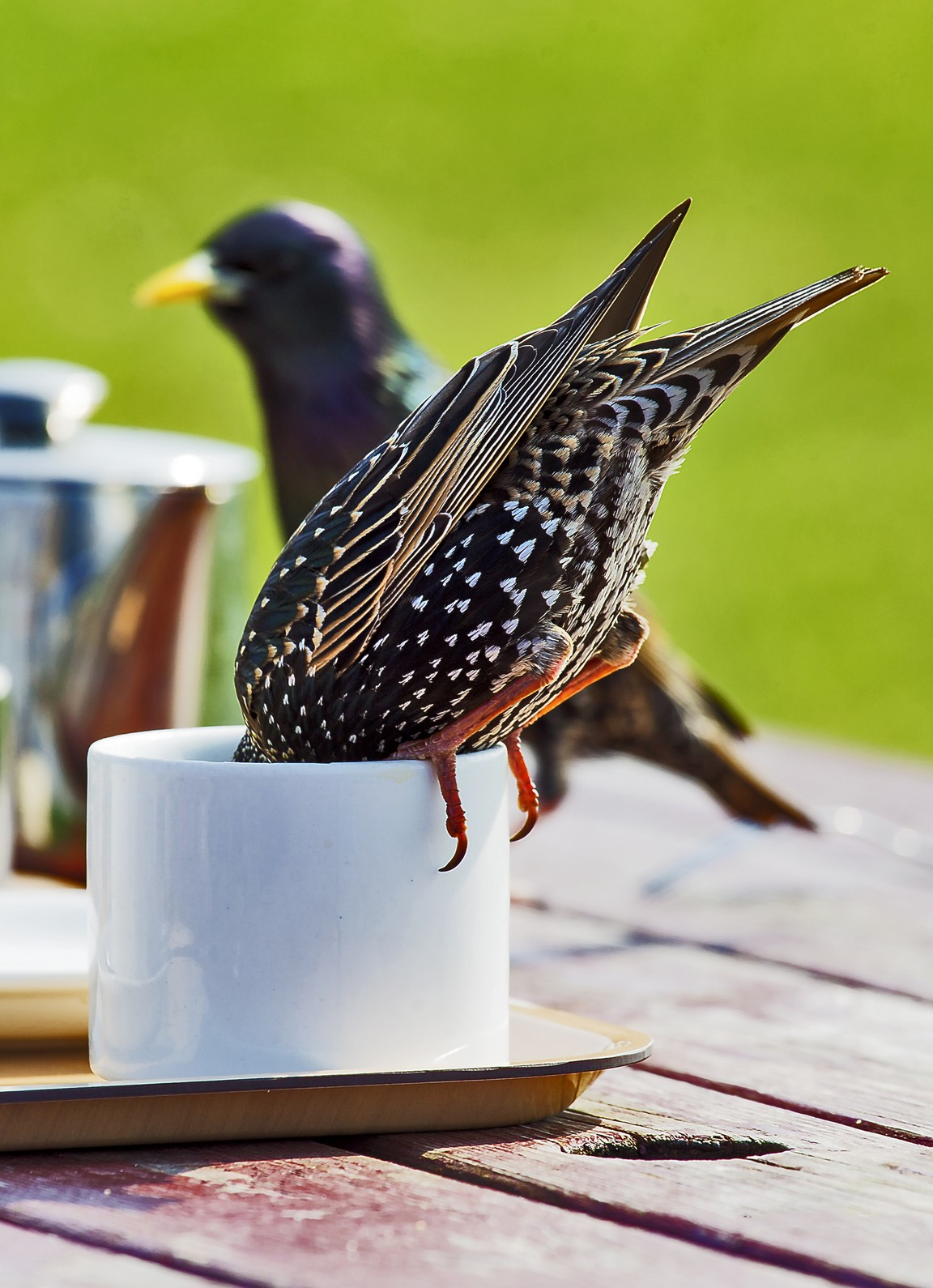 Starling Tea